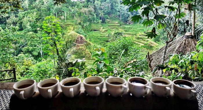 Plantación de Café en Indonesia.